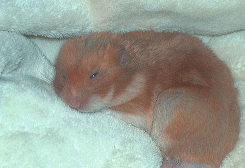 criceto, hamster