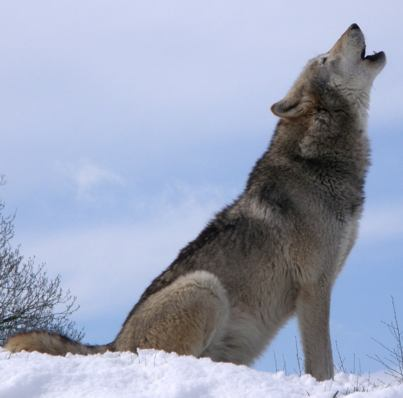 Iberian 狼