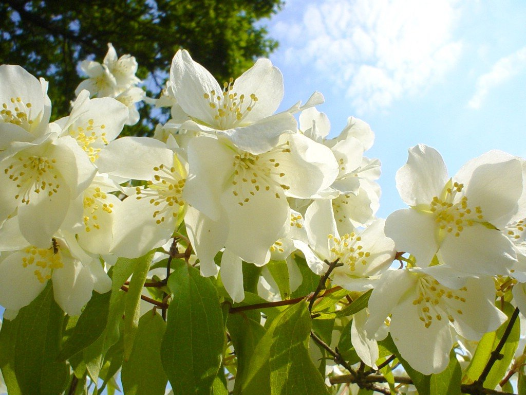 Over 100 Different Types Of Flowers Images Jasmine Flowers Hd
