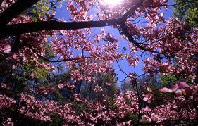 粉, 粉色 Dogwood