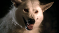 Ghost - game-of-thrones-direwolves photo