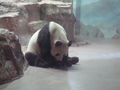 PANDA  - pandas photo