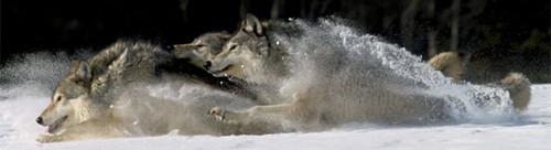Người sói Banner