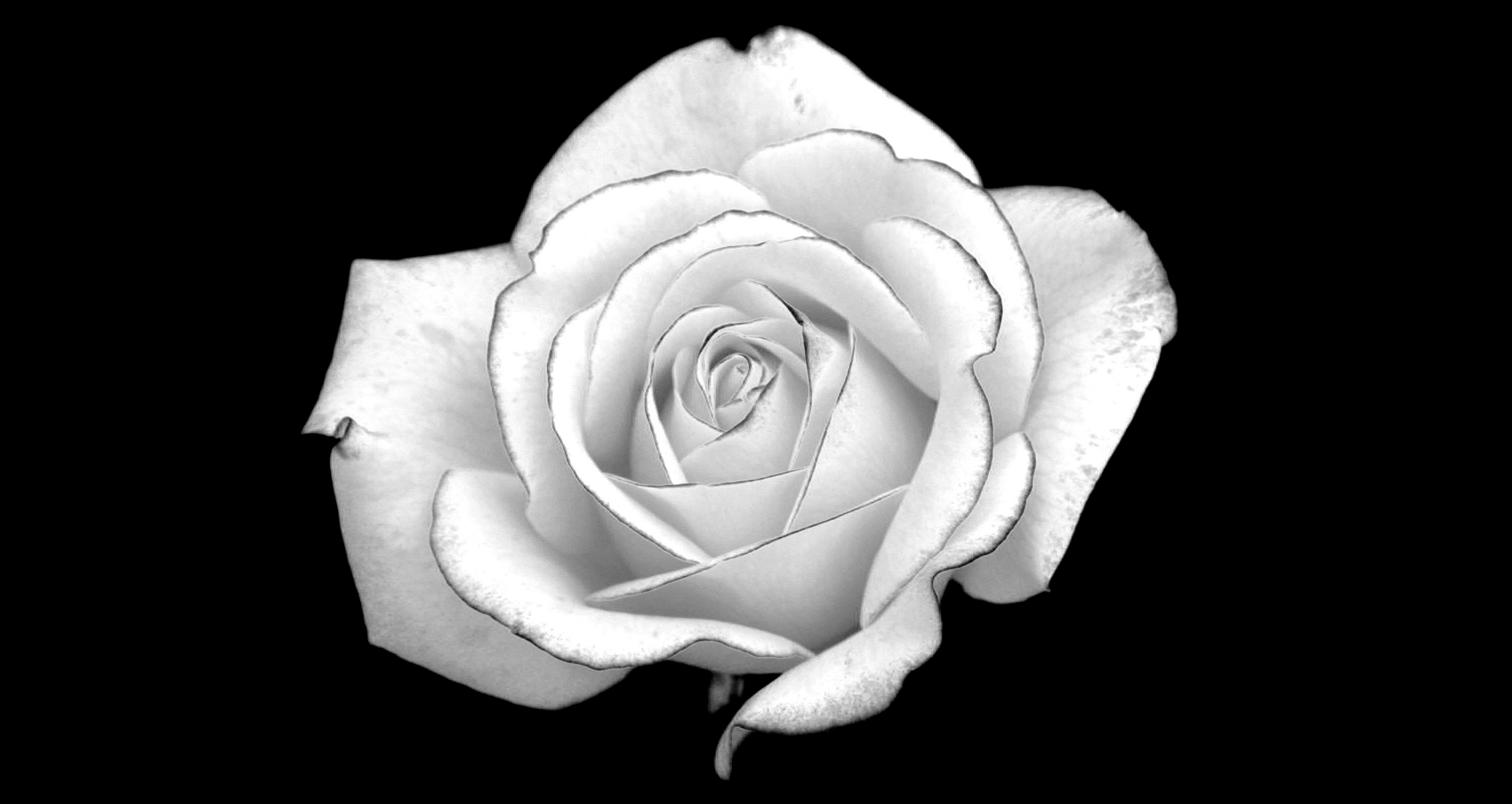 Roses Images White Mean Im Worthy Of You HD Wallpaper And