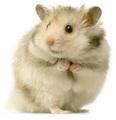 #1 میں hamster, ہمزٹر