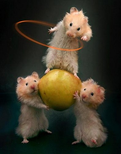 Hamsters wallpaper containing a hamster entitled 3 Hola Hoop Hamsters