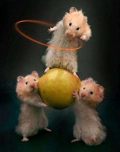 3 Hola Hoop Hamsters