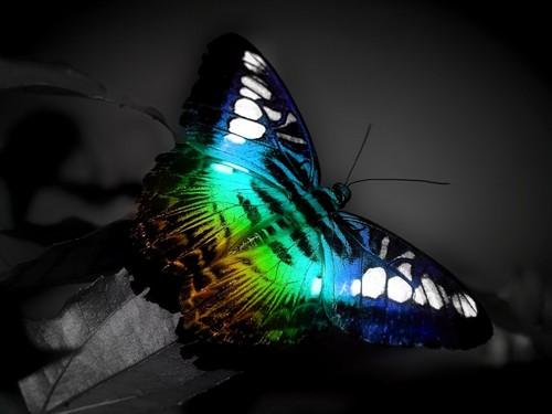 蝴蝶 Spectrum