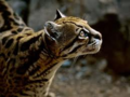 Ocelot - animal-planet photo