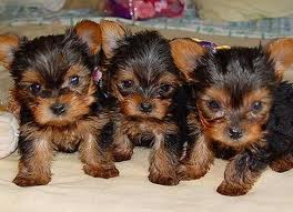 Yorkies پیپر وال probably containing a yorkshire ٹیریر called cutte