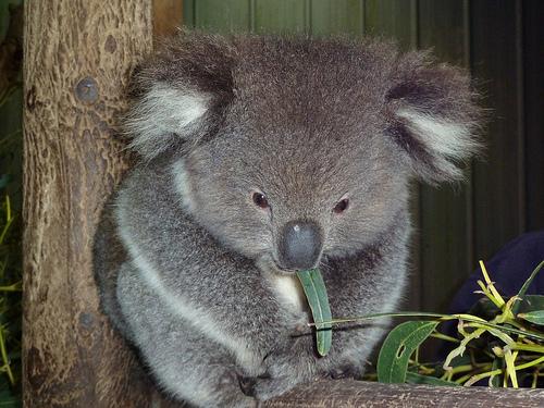 A Koala called Andy:)