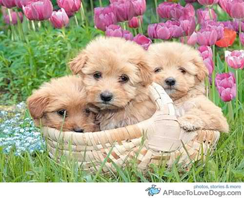 Daydreaming wallpaper titled Cute spring puppies