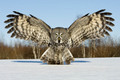 Great Owl - owls photo