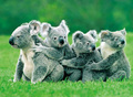 Koalas all lined up.
