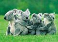 Koalas all lined up.