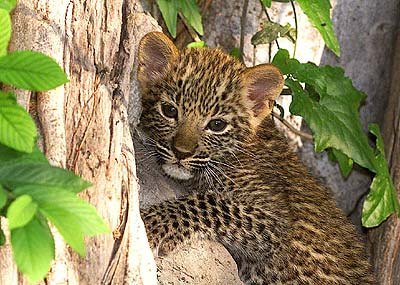 Leopard-Cub-pippy-and-sarahs-spot-of-awesomeness-29707057-400-285.jpg