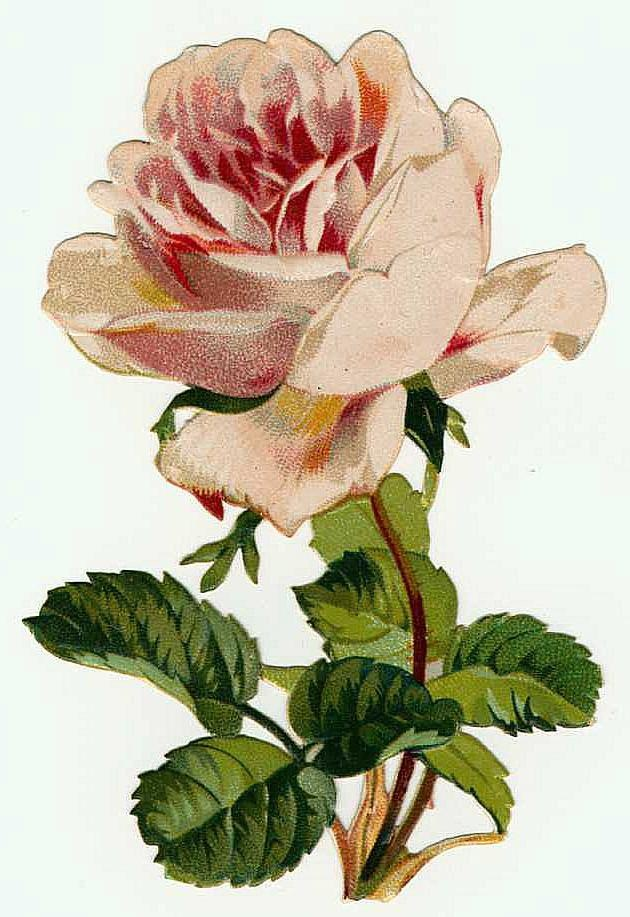 yorkshire rose Pink Vintage RoseVintage Rose Clip Art