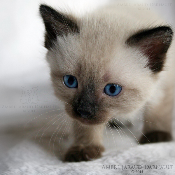 siamese cats images siamese wallpaper and background