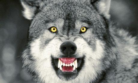 Snarling Gray wolf