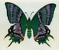 Tienopalpus imperialis