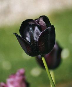 Black tulp, tulip