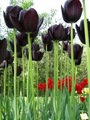 Black Tulip - black photo