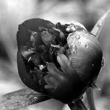 Black tulpe