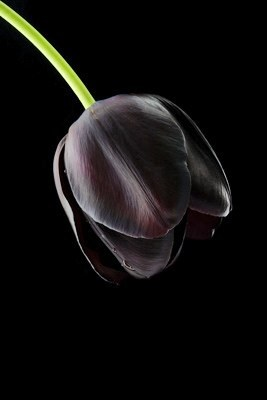 Black cây uất kim hương, tulip