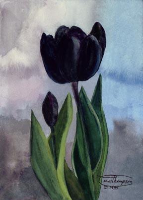 Black tulipa