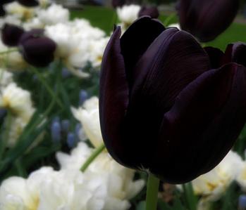 Black 튤립