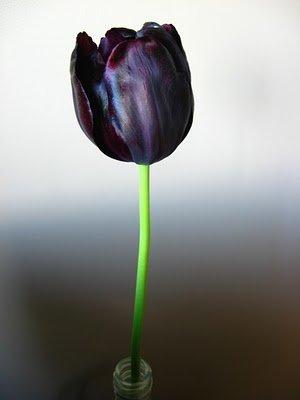 Black チューリップ