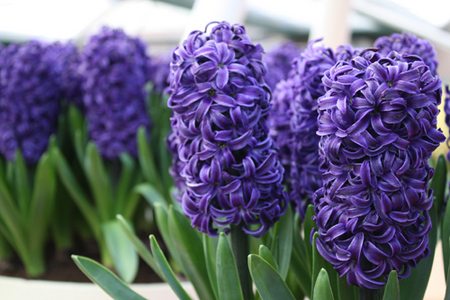hyacinths images blue hyacinth wallpaper and background photos