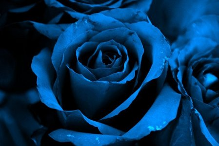 Blue images blue rose wallpaper and background photos