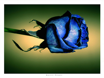 Blue Rose - roses Photo