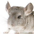 Chinchilla - chinchilla photo