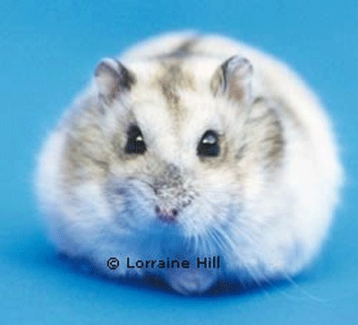 Hamsters wallpaper possibly containing a hamster entitled Djungarian Hamster
