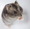 Djungarian 仓鼠