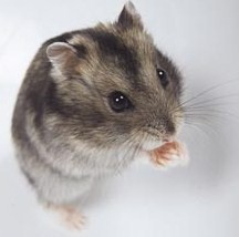Hamsters wallpaper probably with a hamster entitled Djungarian Hamster