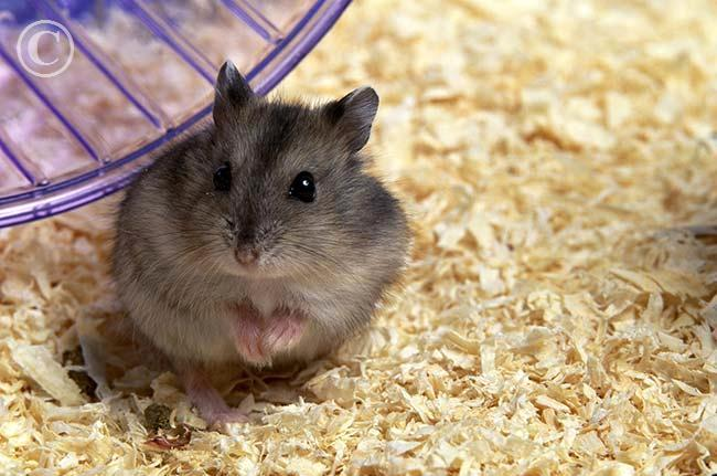 Hamsters images djungarian hamster wallpaper and background photos