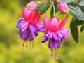 Fuchsia - pink-color photo