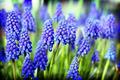 グレープ, ブドウ Hyacinth [Muscari]