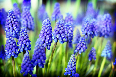 grain de raisin, raisin Hyacinth [Muscari]