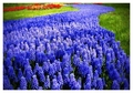 zabibu Hyacinth [Muscari]