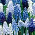 Grape Hyacinth [Muscari]