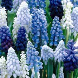 포도 Hyacinth [Muscari]