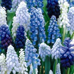 anggur Hyacinth [Muscari]