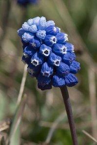 আঙ্গুর Hyacinth [Muscari]