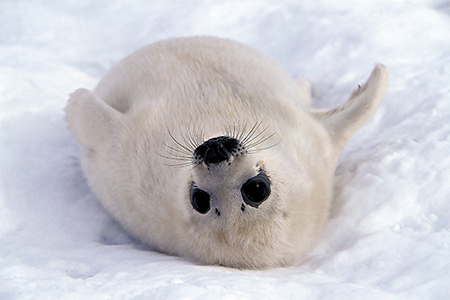Animals wallpaper probably containing a harp seal called Harp Seal