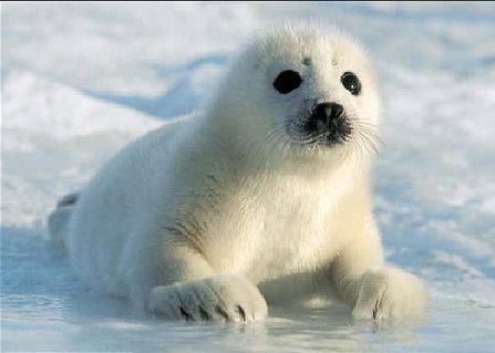 Harp foca, selo