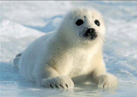 http://images5.fanpop.com/image/photos/29800000/Harp-Seal-seals-29861374-447-319.jpg